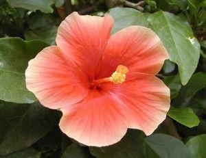 Целебный чай из цветков гибискуса