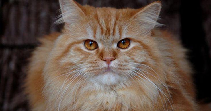 ¿Por qué mi gato bebe del inodoro?. Es posible que te quedes perplejo si tu gato de repente empieza a beber de la taza del inodoro, cuando tiene disponible un recipiente lleno de agua fresca. Este es un problema común en los gatos y puede ser necesaria una mayor investigación para descartar un problema de salud, especialmente si tu gato nunca había hecho esto antes.