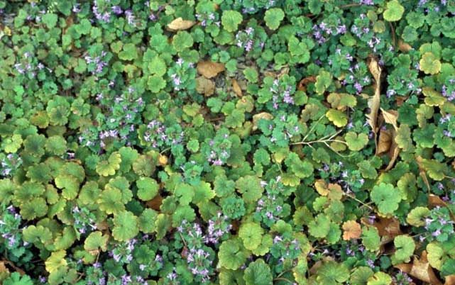 Creeping Charlie (Glechoma hederacea) is a perennial ground cover that has been a thorn in the side of homeowners and professional lawn care companies alike for many years. In Minnesota, you can find it growing in full shade, partial shade, and even in the full...