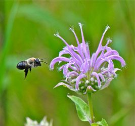 Want to keep bees in your garden? Be careful where you buy your plants – you could inadvertently be killing them. :( @ Minnesota Public Radio News
