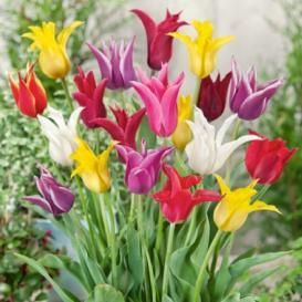 Tulip Bulbs For Sale | Buy in Bulk & Save