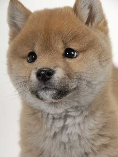shiba pomeranian 2662 best so cute it hurts images on pinterest 7456