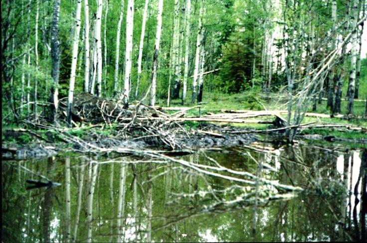 beaver pond in spring