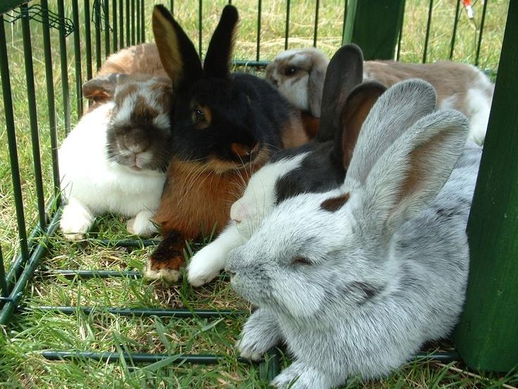 Ras konijnen: Haring Animal, Animal Topanim