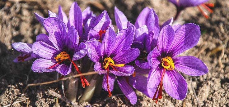 Découvrez tout ce qu\'il faut savoir sur le crocus sativus et la culture du safran et nos conseils, pour planter les bulbes et récolter cette épice rare !