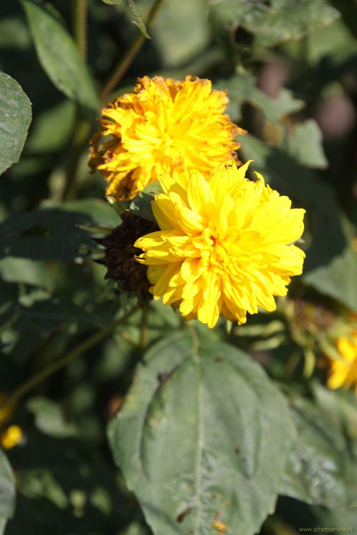 Helianthus multiflorus 'Loddon Gold' is een gevulde zonnebloem. De hoogte van deze stevige plant bedraagt 140-160 cm. Bloei: juli-september. Beschrijving: www.schetsservice.nl. foto gemaakt op Kwekerij de Hessenhof