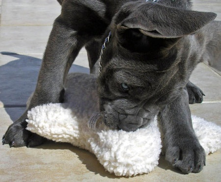 Tank the #Cane #Corso | Puppies | Daily Puppy