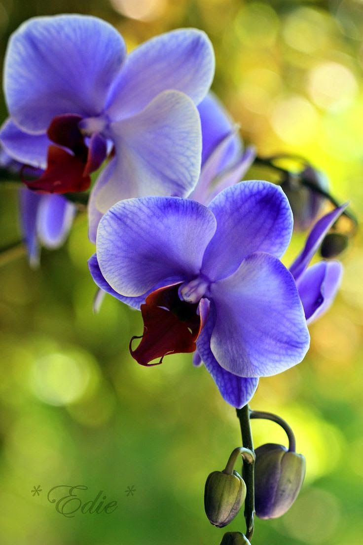 Purple Blue Orchid Flower