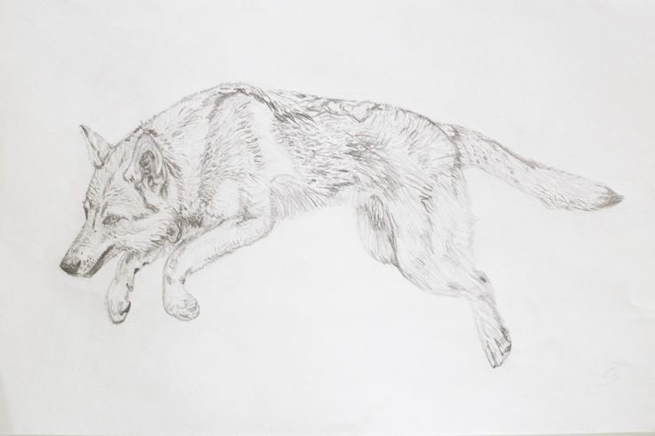 czechoslovakian wolfdog drawing
