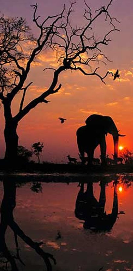 African elephant at dawn in the Chobe National Park of Botswana