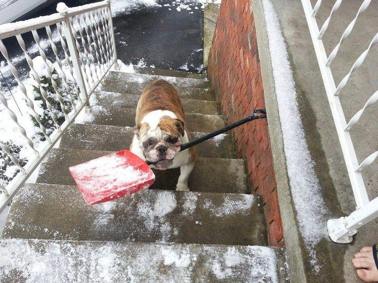 1035 Best Bulldog Glory Iii Images On Pinterest English