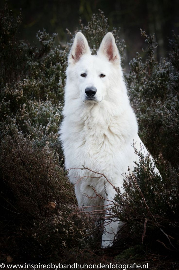 Jovi, swiss white shepherd