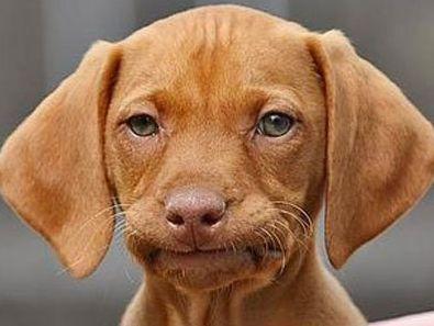 12f2d3c2cebabd1c24eb80e7f35e7848 so funny funny stuff 141 best dog memes images on pinterest animals, funny animals,Funny Dog Face Meme