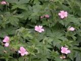 Cransbill Geranium (Geranium endressii)