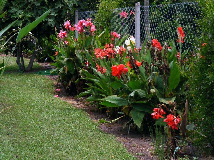 Achiras planta buscar con google flores pinterest - Jardines y plantas ...