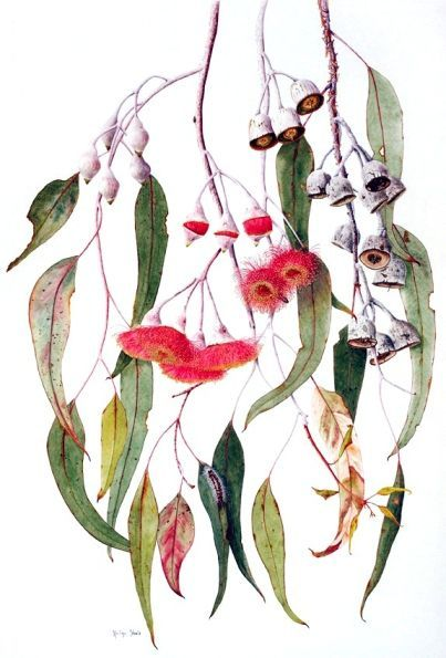Eucalyptus caesia. Wedding Invitation botanical drawings along the top and hanging down the side - Australia :)