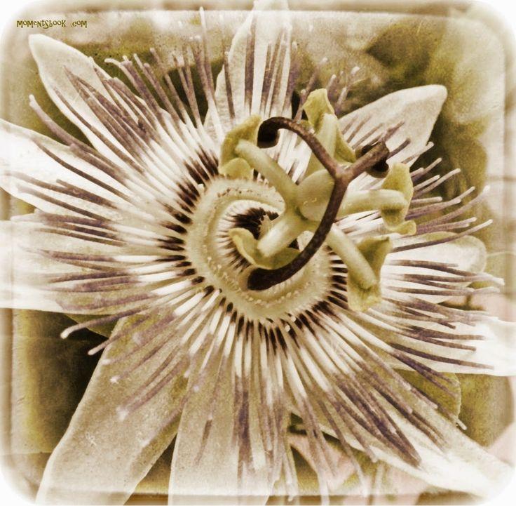 Momentsbook.com: Το λουλούδι του πάθους.