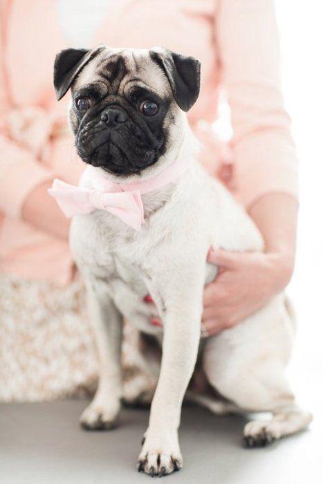 all dressed upCrazy Dogs, Bows Ties, Sharpe Puggies, Bow Ties, Pugs Boys, Pink Bows, Bowties, Pugs Life, Animal