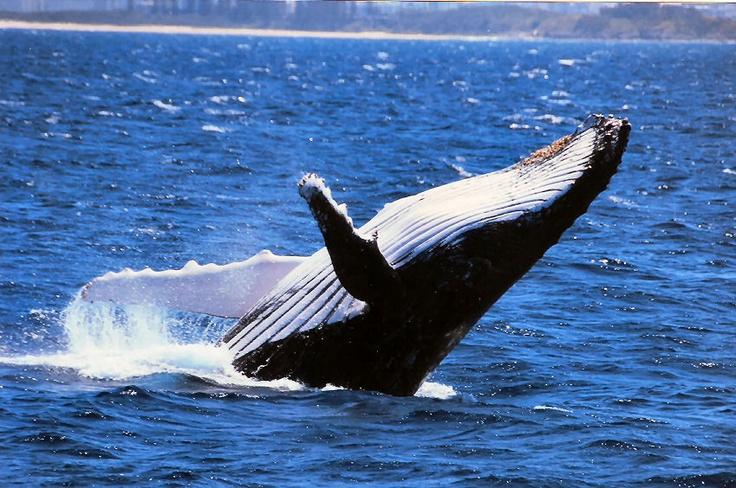 Whale watching off coast of Mooloolaba QLD