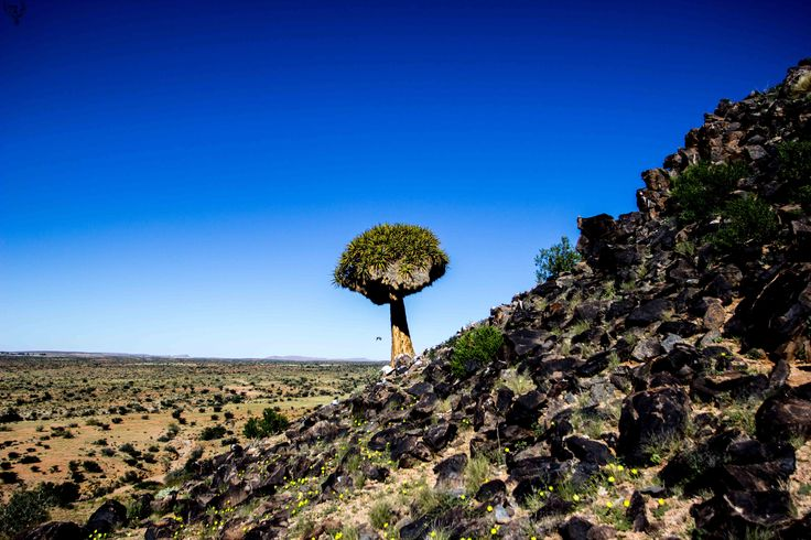 Quiver tree againts a deep blue sky - Augrabies National Park