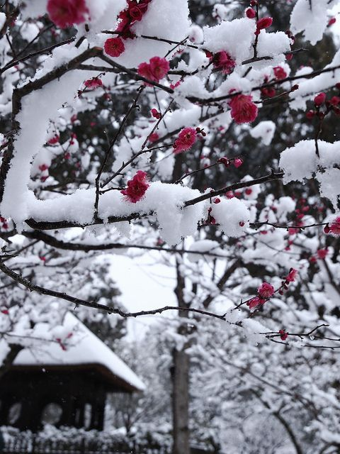 Plum blossoms in the snow, Nara, Japan
