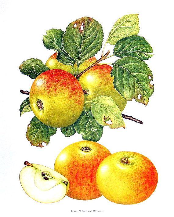 Apple Print Newton Wonder Apples Kitchen Decor Wall Hanging Vintage 1993 Book Page 9 X 8