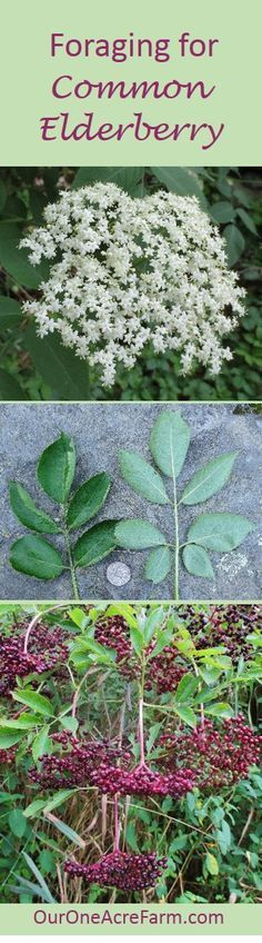 Where to find, how to identify, and how to use both  the berries and flowers of  Common Elderberry  (Sambucus canadensis). Eat berries (white or black),good for CA & antiacids,dont eat leaves or steams, grow 5-11ft