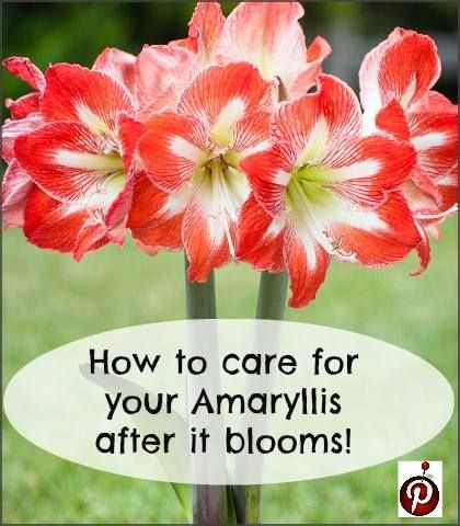 Amaryllis after it blooms this is my variety advice for Easy to care for outdoor flowering plants