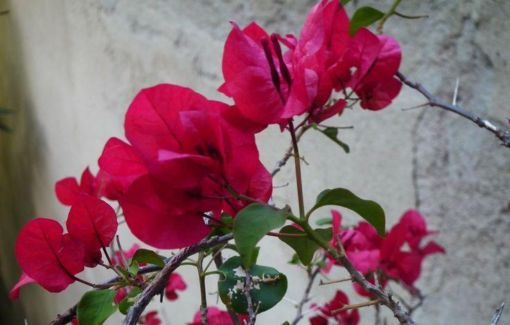 Lo más probable desconocía esto. La bugambilia, además identificada como Santa Rita, veranera o trinitaria, de acuerdo al país que se trate, es una hermosa planta tipo trepadora o más bien enredadera capaz de crecer en cualquier