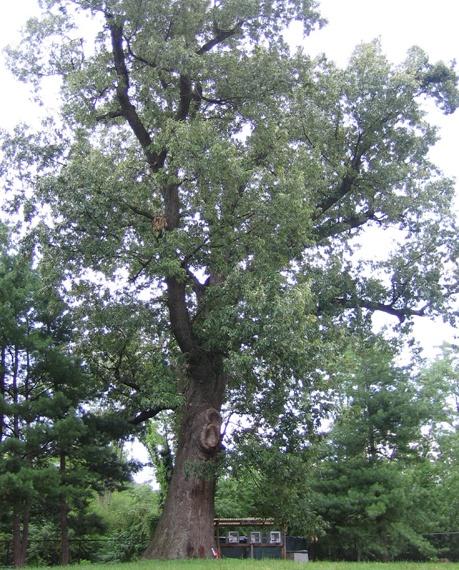 Indiana Native Plants: 27 Best Native Indiana Plants- Woodland (shade) Images On