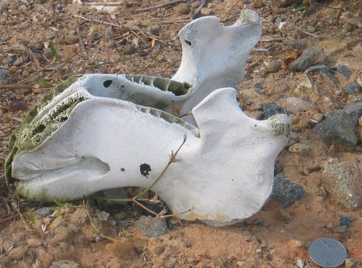 Dugong mandible from the croc-infested side of Thusday Island, where the locals butcher their meat.  It's a wonder there wasn't more camera shake. This has been used in two of my books.