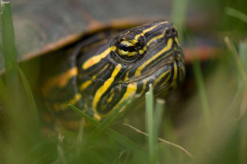 Las pequeñas tortugas de agua dulce son mascotas especiales para atraer prosperidad al hogar. No se necesita más que un ejemplar. Colocarla en un recipiente de cerámica lleno hasta la mitad con agua mineral y con una gran piedra en el centr...Ver más https://www.facebook.com/pages/Vida-y-Feng-Shui/134972643365688