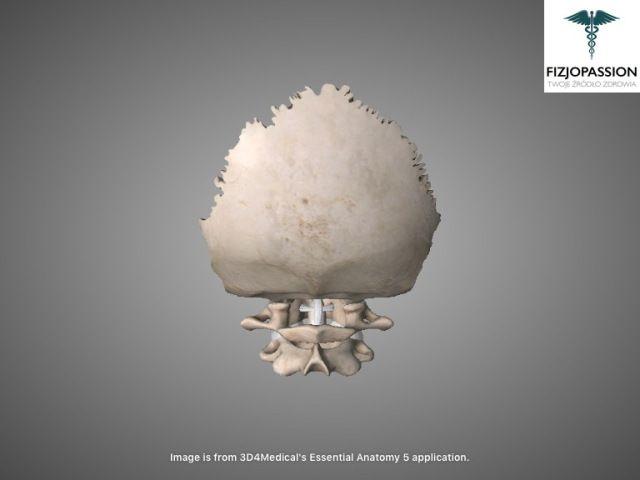 Articulatio atlantoaxialis posterior view / Staw szczytowo-obrotowy widok z tyłu