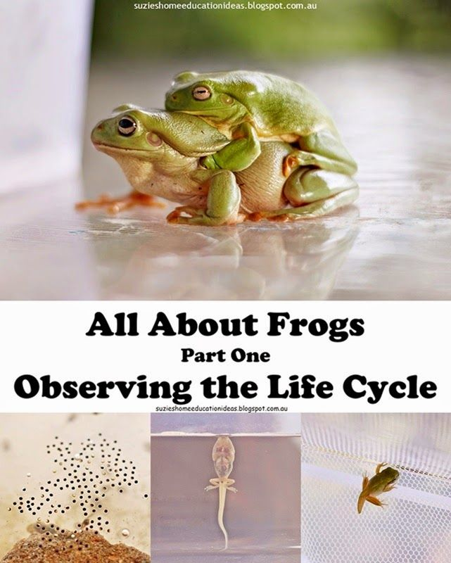 All About Frogs - Observing the Life Cycle, how to raise tadpoles, what to feed them, how to create an environment for them to grow in and photographs documenting the life cycle of Australian Green Tree Frogs.