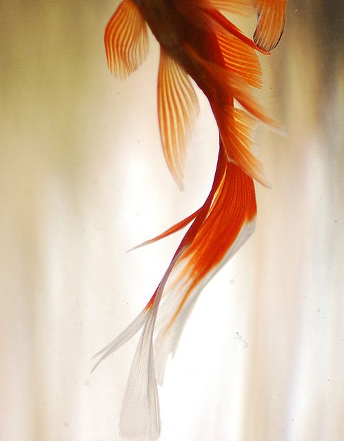 Goldfish tail... (or koi?)