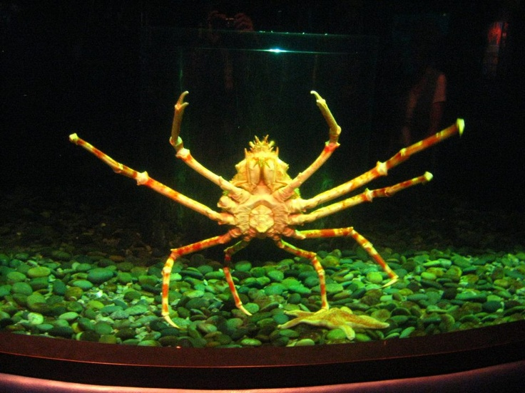 Spider Crab Size 1000+ images ab...