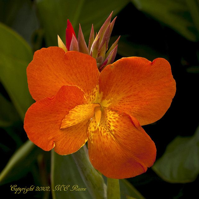 Canna Lily 'Orange Punch'