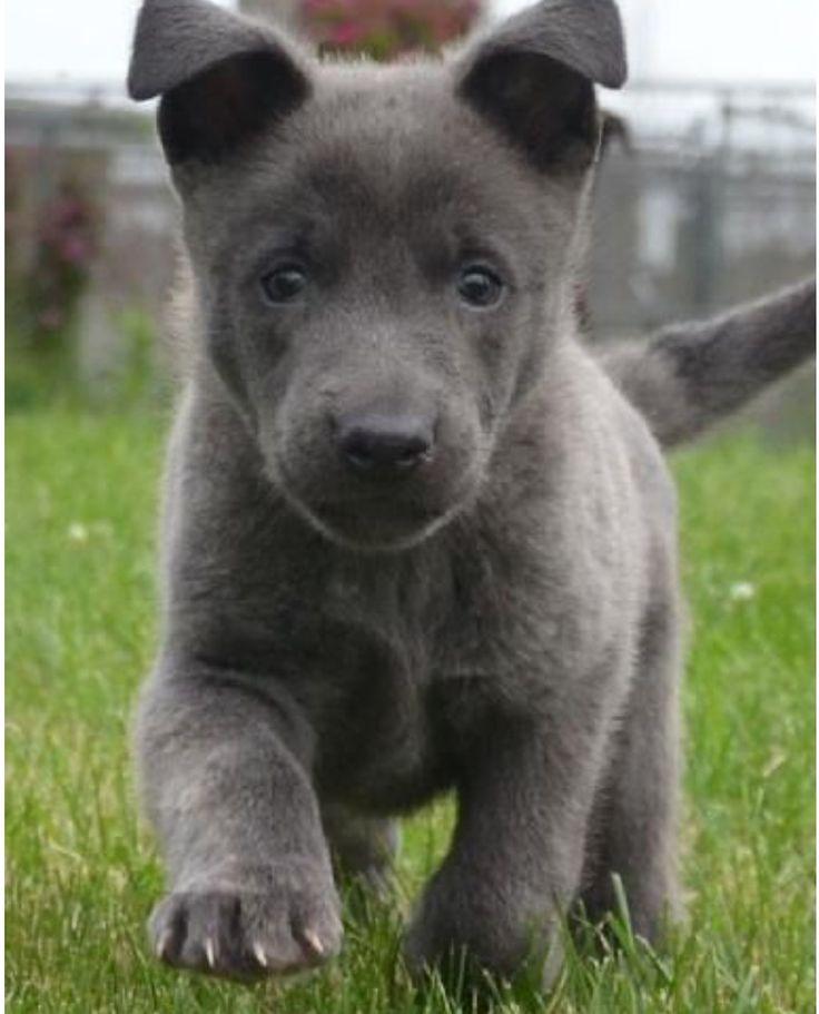 Blue German Shepherd Dog