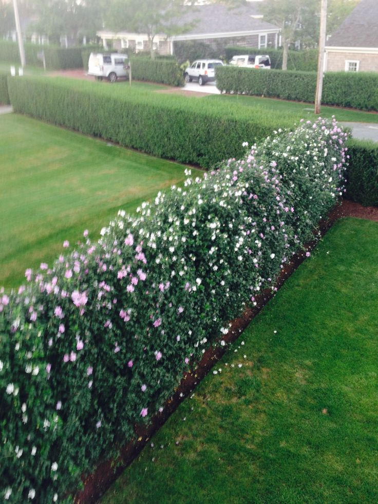 My friend's yard.  Gorgeous hedge of Rose Of Sharon, on Nantucket