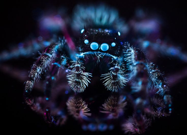 Don Komarechka posted a photo:  I probably wouldn't view this image large if you have a fear of spiders, and I promise this will be the only close-up of a spider you'll see in my stream… but I had to share this. For those unafraid, view large!  The same Bold Jumping Spider I shot on an orchid played nice for one extra photo during that session: resting on a first-surface mirror and photographed in ultraviolet light, the small creature gave me light back in the visible spectrum that the…