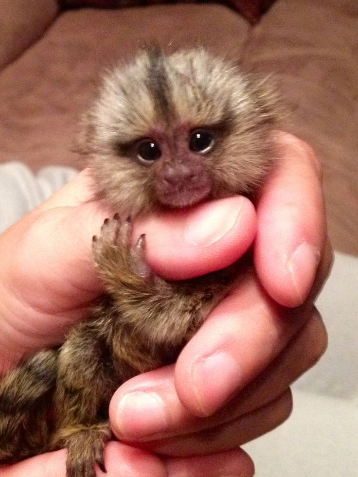 Baby Marmoset: Not PETS! They belong in the wild.