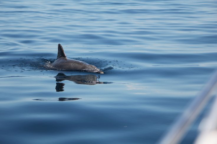 Dolphin rising to the surface on a calm day