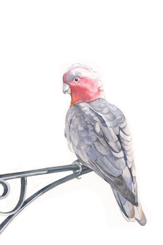 Galah Painting Bird Art print of watercolor by Splodgepodge, $15.00