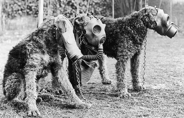 World War 2: Three Airedale dogs wearing their special gas masks at a Surrey kennel. They are being trained by Lt Col E. H. Richardson. 1939.