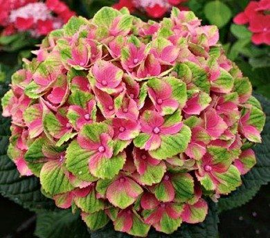 10 types of hydrangeas to inspire landscaping ideas for your home. More photos: http://realestate.yahoo.com/photos/10-hydrangea-show-stoppers-slideshow/10-hydrangea-show-stoppers-photo-191330699.html# #gardening #flowers
