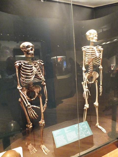 A comparison can be made between these two human species as Neanderthal and modern human skeletons stand side by side in Evolving Planet exhibit @Field Denny Museum of Natural History, Chicago IL 9-2-2012 | by clkayleib, via Flickr