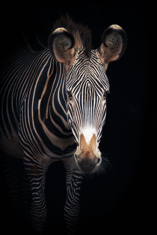 "earth-song: ""Grevy's Zebra"" by Mario Moreno"