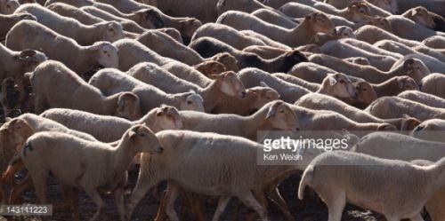 Flock of sheep in Burunchel,Jaen Province, El Parque Natural de... #burunchel: Flock of sheep in Burunchel,Jaen Province, El… #burunchel