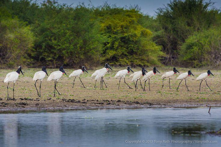 Jabiru Storks Jabiru Storks, Crooked Tree Wildlife Sanctuary, Belize - TR_130320_CTWS9171 Belize,CTWS,Crooked Tree Village,Crooked Tree wildlife Sanctuary,Jabiru,Jabiru mycteria,protected area,waterbirds