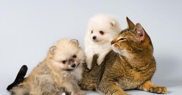 Tratamento contra pulgas e ácaros da orelha com o Revolution. As medidas preventivas para evitar infestações por pulgas e carrapatos em cães e gatos incluem os populares medicamentos de uso tópico. Há muitas opções disponíveis, entre elas está o Revolution.